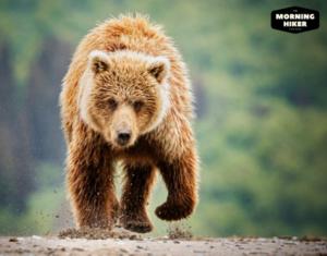 Bear charging hiker who needs bear spray